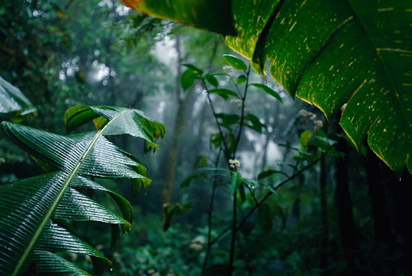 ca. 2002, Monteverde, Puntarenas Province, Costa Rica --- Mist and lush undergrowth can be seen past the leaves of heliconia plants in Monteverde Biological Cloud Forest Preserve. | Location: Monteverde, Costa Rica.  --- Image by © Gary Braasch/CORBIS