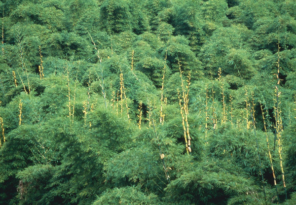 Bamboo forest view --- Image by © Erika Koch/Corbis