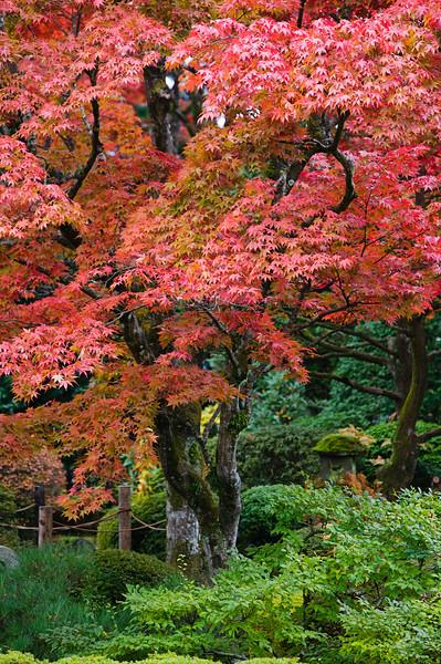 Nikko, Japan --- Maple Tree Turning Red in Japanese Garden --- Image by © moodboard/Corbis