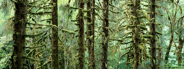 Moss-covered trees in the Olympic National Park, Washington --- Image by © Theo Allofs/Corbis