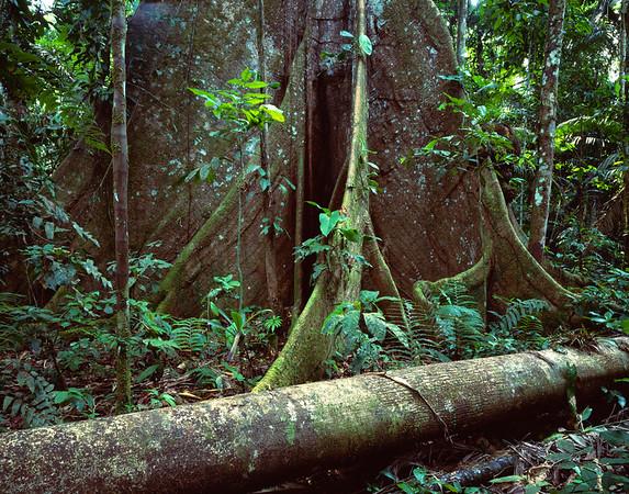 Base of Kapok Tree in Rainforest --- Image by © Natural Selection David Ponton/Design Pics/Corbis