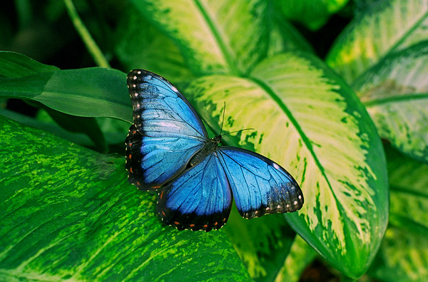 22 Dec 2005 --- Morpho Hyacinthus Butterfly --- Image by © Envision/Corbis