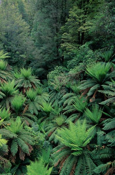 ca. 1980-2001, Tarra-Bulga National Park, Victoria, Australia --- Rain Forest Ferns and Trees --- Image by © Theo Allofs/CORBIS