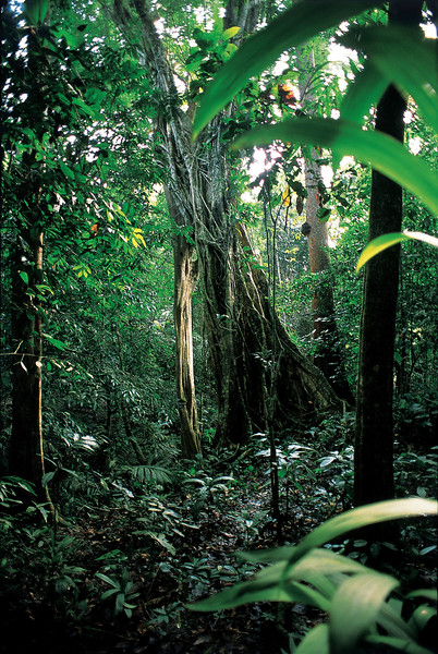 March 2003, Taman Negara, Malaysia --- Tropical Plants in Rainforest --- Image by © Chan Shu Kai/Corbis