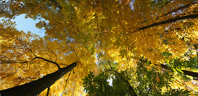 9676x4687, trees, leave, yellow, autumn