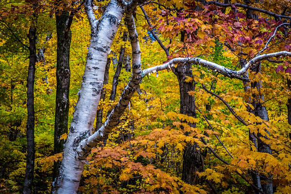 09 Oct 2012, Vermont, USA --- Close-Up of Birch Tree Amongst Autumn Forest Foliage --- Image by © R. Ian Lloyd/Masterfile/Corbis