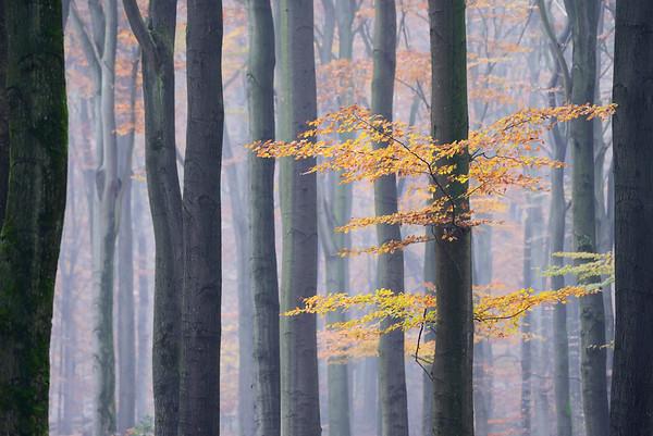 15 Nov 2012, Netherlands --- European Beech (Fagus sylvatica) forest in autumn, Netherlands --- Image by © Misja Smits/ Buiten-beeld/Minden Pictures/Corbis