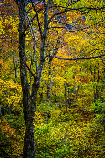 09 Oct 2012, Vermont, USA --- Bare Tree Amongst Lush Foliage in Autumn Forest, Smugglers Notch, Lamoille County, Vermont, USA --- Image by © R. Ian Lloyd/Masterfile/Corbis