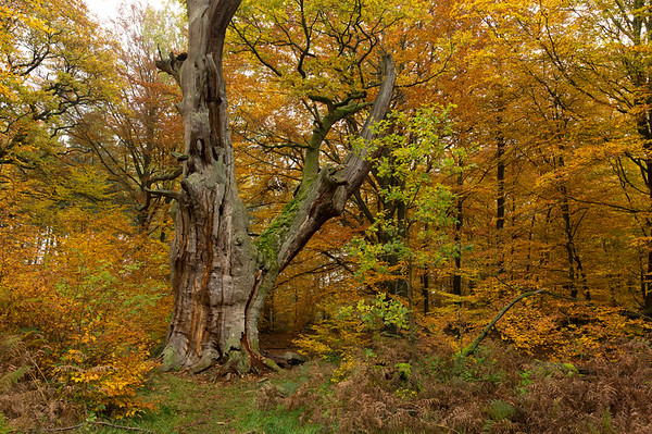 31 Oct 2011, Rhineland, Germany --- A moss tinged old dead beech tree stands amid a forest of oak and beech trees in fall color. --- Image by © Norbert Rosing/National Geographic Creative/Corbis