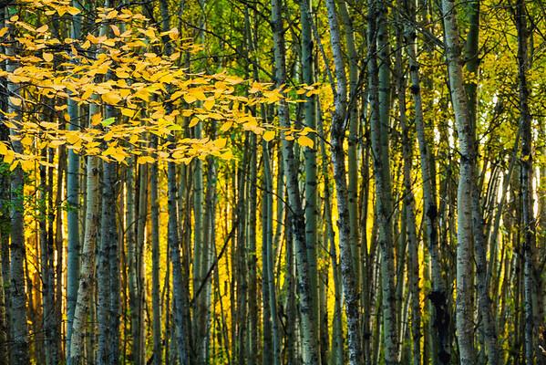 Alberta, Canada --- Yellow fall birch leaves against an aspen forest --- Image by © Joel Koop/Design Pics/Corbis