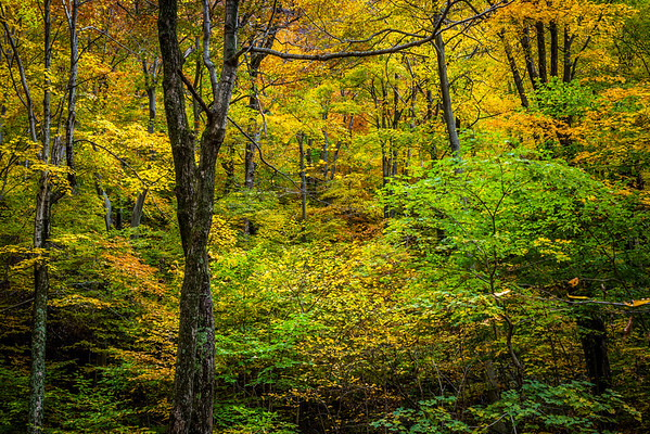 09 Oct 2012, Vermont, USA --- Bare Tree Amongst Forest Foliage in Autumn, Smugglers Notch, Lamoille County, Vermont, USA --- Image by © R. Ian Lloyd/Masterfile/Corbis
