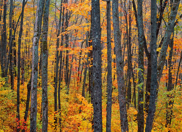 Quebec, Canada --- Maple forest in autumnon the north side of Mont Tremblant --- Image by © Aluma Images/Ocean/Corbis