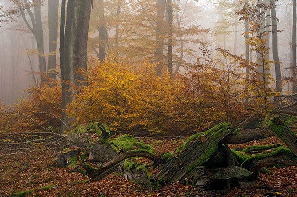 04 Nov 2011 --- A rotting beech tree layered in moss near young beech trees in fall color in a beech tree forest under light fog. --- Image by © Norbert Rosing/National Geographic Creative/Corbis