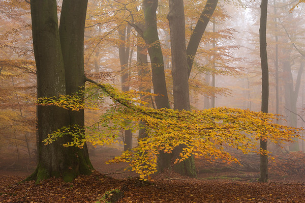 04 Nov 2011 --- Tree leaves in golden fall color in a beech forest under light fog. --- Image by © Norbert Rosing/National Geographic Creative/Corbis