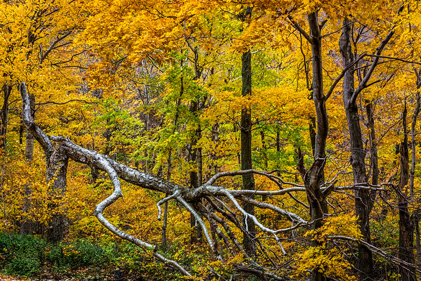 09 Oct 2012, Vermont, USA --- Fallen Tree and Forest Trees in Autumn, Smugglers Notch, Lamoille County, Vermont, USA --- Image by © R. Ian Lloyd/Masterfile/Corbis