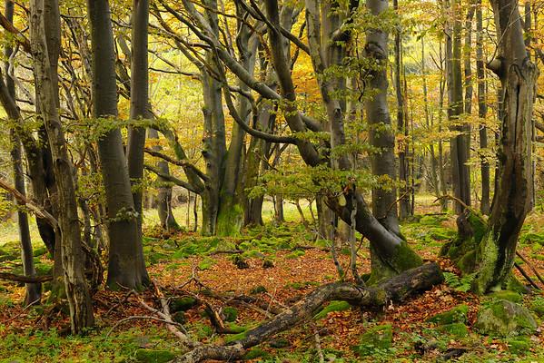 23 Oct 2009, Rhineland, Germany --- Forest in Autumn, Wasserkuppe, Gersfeld, Rhon Mountain Range, Hesse, Germany --- Image by © Radius Images/Corbis