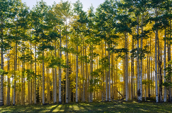 16 Sep 2012, Fishlake National Forest, Utah, USA --- Utah. USA. Grove of aspen trees (Populus tremuloides) bordering meadow at Wiffs Pasture in early autumn. Thousand Lake Mountain. Fishlake National Forest. --- Image by © Scott Smith/Corbis
