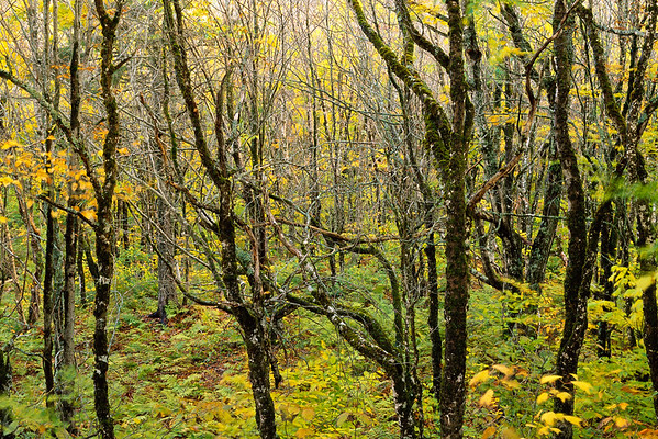 Fundy National Park, New Brunswick, Canada --- Acadian Forest Interior --- Image by © J. David Andrews/Masterfile/Corbis
