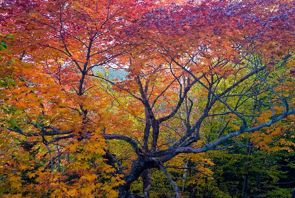 08 Oct 2008, Acadia National Park, Mount Desert Island, Maine, USA --- Acadia National Park. Maine. USA. Maple tree in autumn. Mt. Desert Island --- Image by © Scott Smith/Corbis