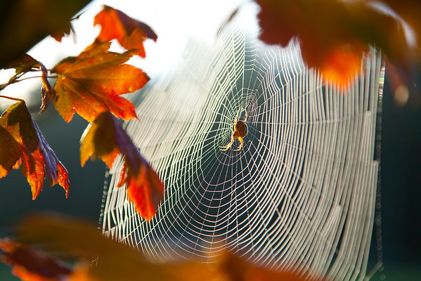 Washington State, USA --- Orb spider on its web --- Image by © Craig Tuttle/Corbis