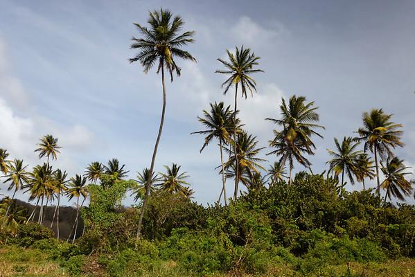 06 Sep 2014, Little Tobago, Trinidad and Tobago --- Coconut palm trees (Cocos nucifera), Little Tobago, Trinidad and Tobago, North America --- Image by © Norbert Probst/imageBROKER/Corbis