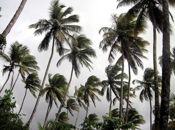 28 Aug 2014, Dominica --- Palm Trees and Stormy Sky, Dominica, Lesser Antilles, Caribbean --- Image by © Envision/Corbis