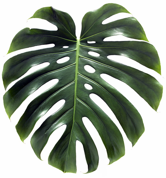 Monstera large green leaf