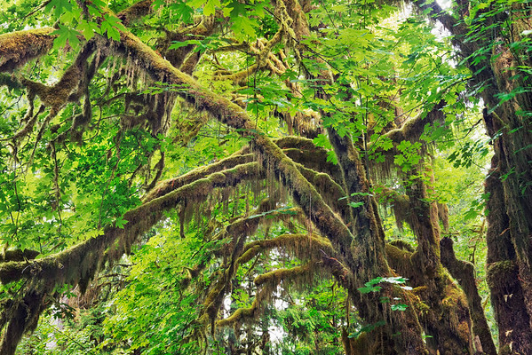 Moss-covered trees in North American rainforest --- Image by © Frank Krahmer/Corbis