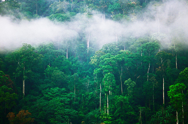 01 Jun 1989, Limbe, Cameroon --- The white trunks of canopy trees show the degradation and imminent death of the forest, whose intermediate size trees and ground cover have been cut and burned for farming near Limbe (formerly Victoria), Cameroon. --- Image by © George Steinmetz/Corbis