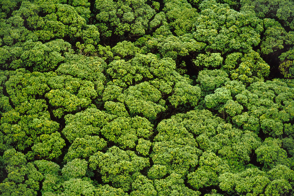 Koa trees showing canopy shyness --- Image by © Frans Lanting/Corbis