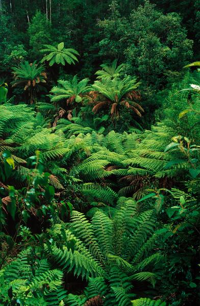 600-02885965 © Koolstock Model Release: No Property Release: No Rainforest, Ferns