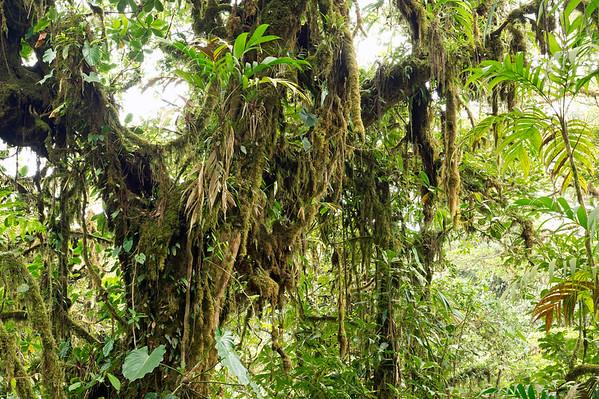 Cloud forest vegetation, Monteverde, Puntarenas Province, Costa Rica, Central America --- Image by © Michael Fischer/imageBROKER/Corbis