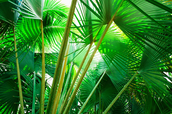 Jamaica --- Jamaica, Palm leaves --- Image by © Tetra Images/Corbis