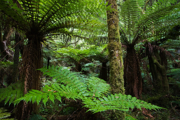 Whirinaki Forest Park, North Island, New Zealand --- Lush trees and ferns --- Image by © Roland Gerth/Corbis