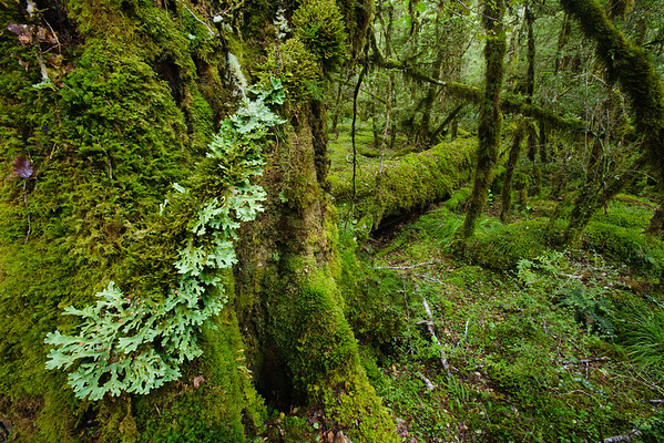 Fiordland National Park, South Island, New Zealand --- Moss-covered forest --- Image by © Roland Gerth/Corbis