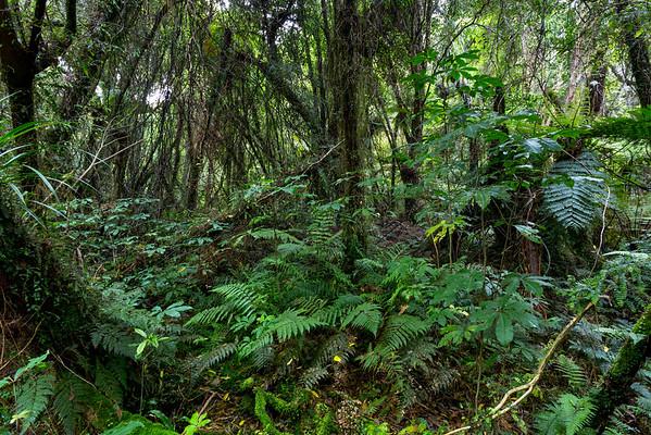 New Zealand jungle with Silver Ferns (Cyathea dealbata), Ruatapu, West Coast Region, New Zealand, Oceania --- Image by © Alexander Schnurer/imageBROKER/Corbis