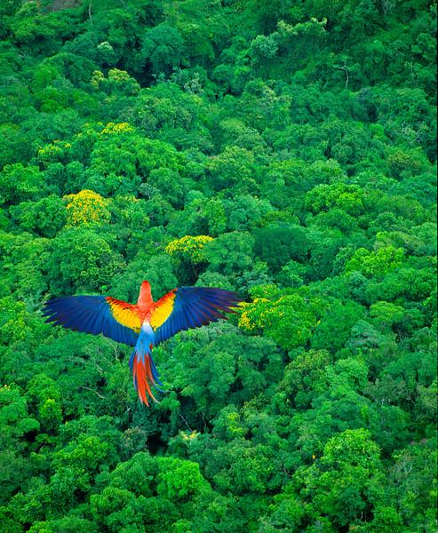 Costa Rica --- Scarlet Macaw Flying Over Rainforest --- Image by © Jim Zuckerman/Corbis