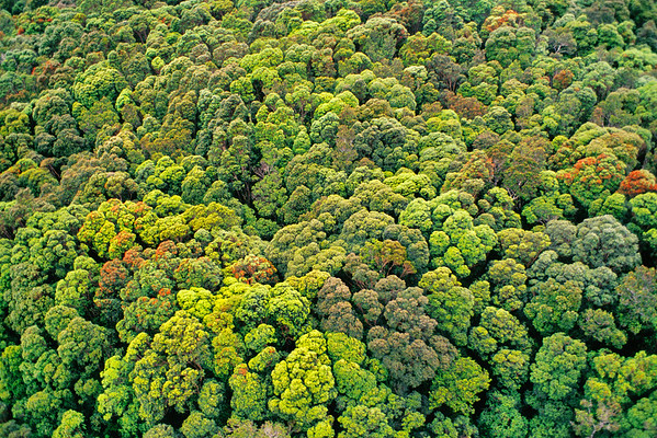 Westland National Park, South Island, New Zealand --- Forest Canopy in Westland National Park in New Zealand --- Image by © Frans Lanting/Corbis