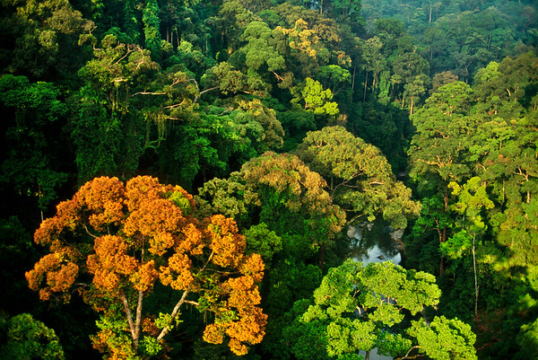 Danum Valley Conservation Area, Malaysia --- Flowering dipterocarp tree in the rainforest of Danum Valley, Borneo.   Location: Danum Valley, Malaysia. --- Image by © Frans Lanting/Corbis