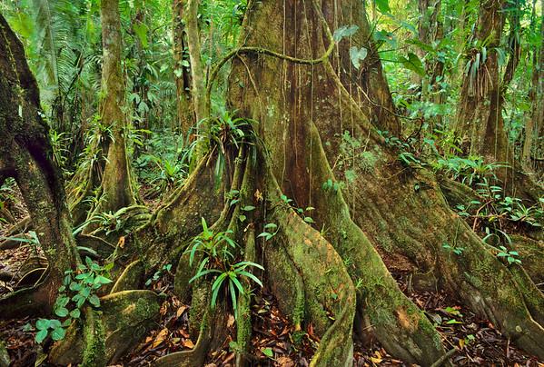 Cockscomb Basin Wildlife Sanctuary, Belize --- Lowland rainforest in Cockscomb Basin, Belize. --- Image by © Frans Lanting/Corbis
