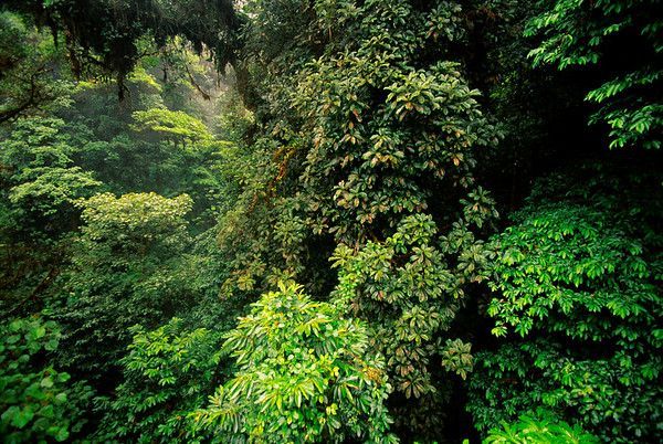 Monteverde Cloud Forest Reserve, Costa Rica --- Cloud forest canopy in Monteverde Cloud Forest Preserve, Costa Rica. --- Image by © Frans Lanting/Corbis