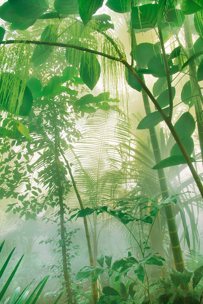 Vegetation in Misty Rainforest --- Image by © Frans Lanting/Corbis