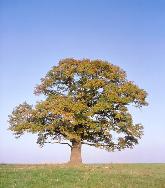 Oak tree, Hesse, Germany, autumn --- Image by © Dietrich Rose/Corbis