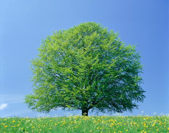 Beech tree in springtime --- Image by © Gerolf Kalt/Corbis