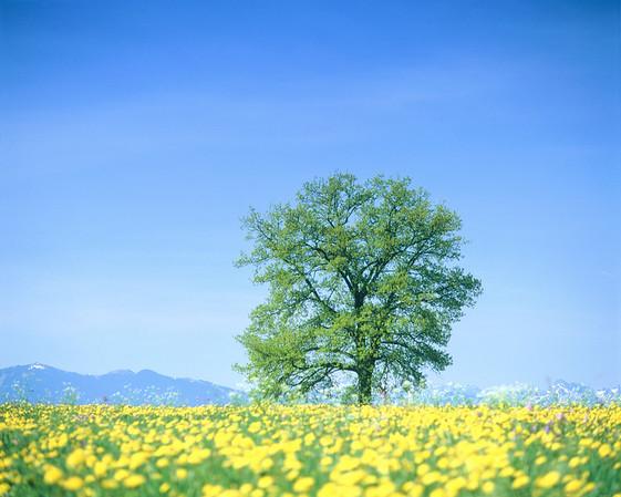 Solitary oak-tree in a flower meadow --- Image by © Gerolf Kalt/Corbis