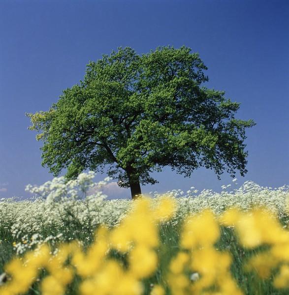 Oak tree in meadow, spring --- Image by © Gerolf Kalt/Corbis