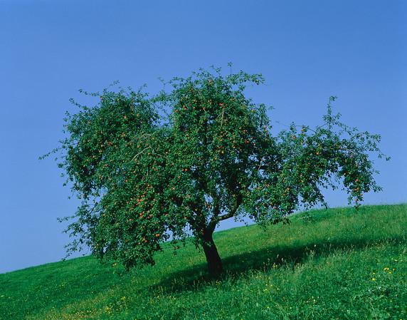 Apple tree, summer --- Image by © Gerolf Kalt/Corbis