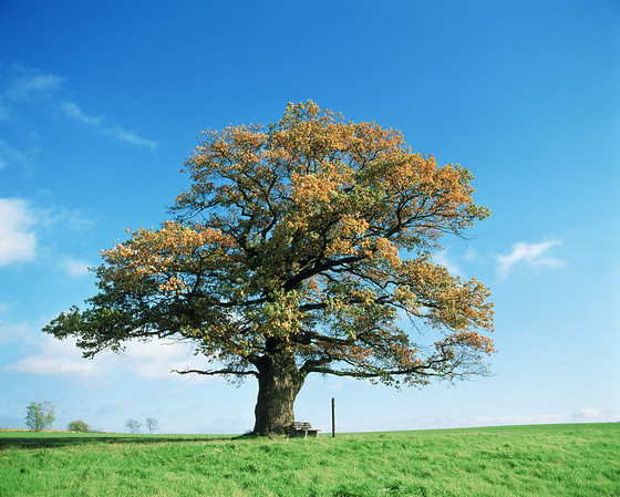 Detached oak with bench on a meadowin the fall --- Image by © Dietrich Rose/Corbis