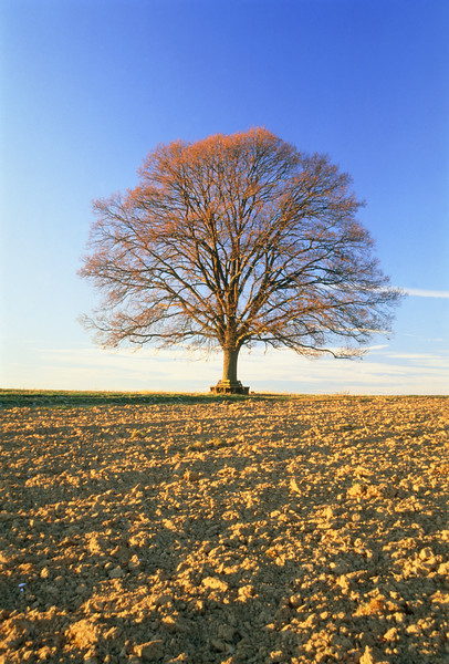 Oak tree on field --- Image by © Frank Lukasseck/Corbis