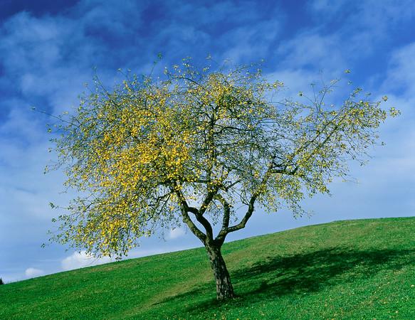 Apple tree, autumn --- Image by © Gerolf Kalt/Corbis